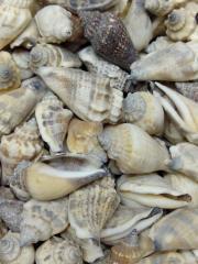 морская ракушка весовая 3,6
