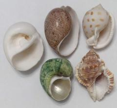 Allsorts from sea cockleshells 4,5 - 5,2