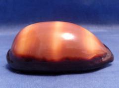 Морская ракушка - Ципрея тальпа 8,2