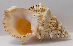 бурса буба 19 - морская ракушка
