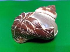 Морская ракушка - петхолатус с пальмой 6