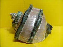 Морская ракушка - мармуратус 16