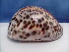 ципрея 9,3 - морская ракушка