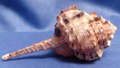 хаустелам 11 - морская ракушка