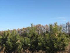Елка новогодняя оптом, елка натуральная оптом (с