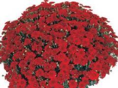 Хризантема шарова опт. цветы для клумбы
