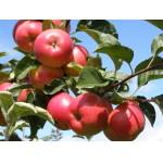 Саженцы яблонь Гала Маст