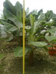 Банан саженец