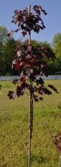 "Maple acutifoliate ""Royal Red"