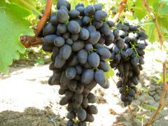 Черенки винограда ранних сортов