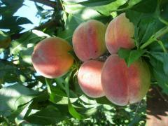 Саженцы персиков купить Сумы
