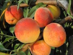 Саженцы персика, сорта (Вайн Голд(Vine Gold)