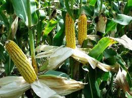 """Corn seeds """"Orzhitsya 237"""