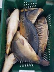 Карп, рыба живая