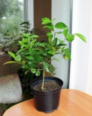 Citrus trees saplings
