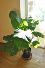 Растение банана плодоносящего Киевский карлик