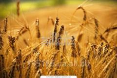 Spring-sown field
