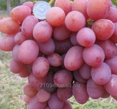 Grapes grade Libya