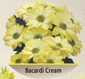 Bokardi's chrysanthemum cream
