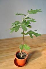 Fig in pot. Exotic room fruit plants.