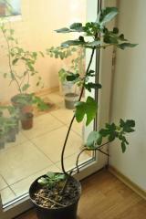 Инжир, фиговое дерево, смоковница, винная ягода. Инжир комнатный в горшке
