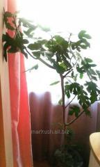 Инжировое дерево с скидкой 35%. Растение, высотой 130-180 см