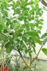 Лимон комнатный Киевский крупноплодный, высота 150-180 см