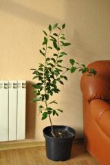 Саженцы цитрусовых деревьев. Мандарин Ковано Васе от 1 м высотой