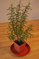 Houseplants: Rosemary of 20-25 cm