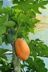 Выращивание папайи дома. Папайя высота 40-80 см