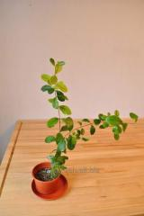Фейхоа для выращивания в домашних условиях.