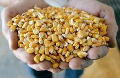 Corn grain, fodder for expor