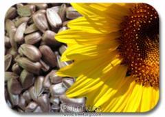 Sunflower sunflower seed olive