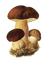 Fragrance Mushrooms natural