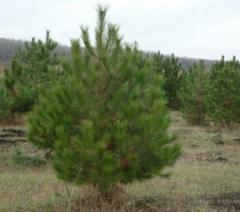 Wholesale trade in New Year trees in pines