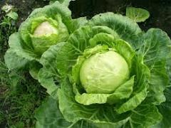 Cabbage, cabbage, wholesale, retail