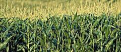 Grain, bean and groat crops