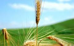 Wheat: To wholesale wheat, retail