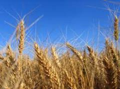 I will sell wheat, I will buy wheat, wheat