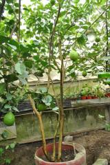 Взрослые деревья лимона, снижение цен, АКЦИЯ!!!!!!!!!