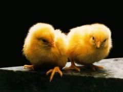 Суточные цыплята кросс ROSS-308 и COBB-500