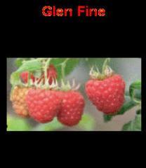 Саженцы малины  Глен Файн GlenFine Звоните по