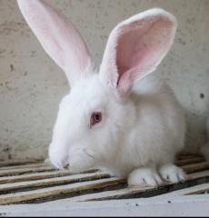 Rabbits wholesale the White giant live weight,