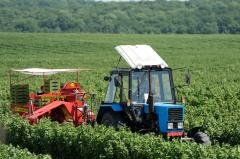 Polurâdnyj blackcurrant Harvester