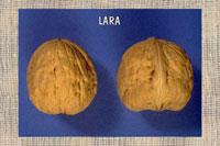 Saplings of Persian walnut French selection Lara