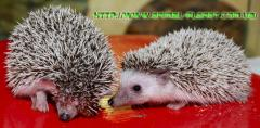 African dwarfish Hedgehogs