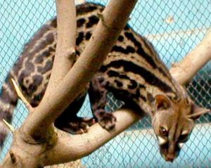 Genet - manual kittens and adult individuals
