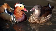 Poultry, domestic decorative waterfowl for your