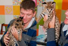 We offer absolutely manual kittens of serval of