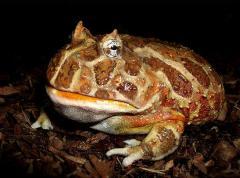 Продам экзотических лягушек Рогатка